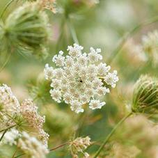 Eau florale de reine des prés