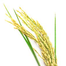 Poudre de riz