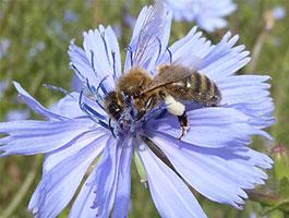 abeilles sur fleur